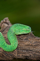 489590010 a captive bluish-green coloration west african bush viper atheris chlorechis sits coiled on a limb