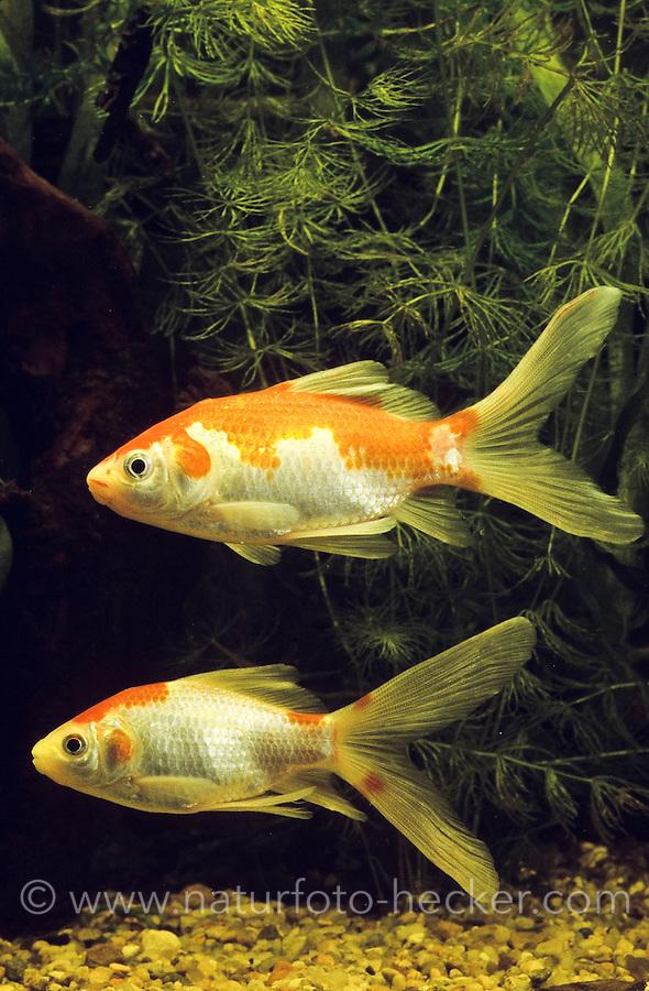 Goldfisch, Zuchtform Sarasa, Sarasa-Komet, Kometenschweif, Sarasa-Schleierschwanz, Sarasa-Goldfisch, Sarasa Comet, Sarasa-Comet, Goldfische, Carassius auratus, Carassius auratus auratus, Carassius gibelio, goldfish
