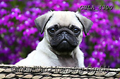 Bob, ANIMALS, REALISTISCHE TIERE, ANIMALES REALISTICOS, dogs, photos+++++,GBLA4300,#a#, EVERYDAY