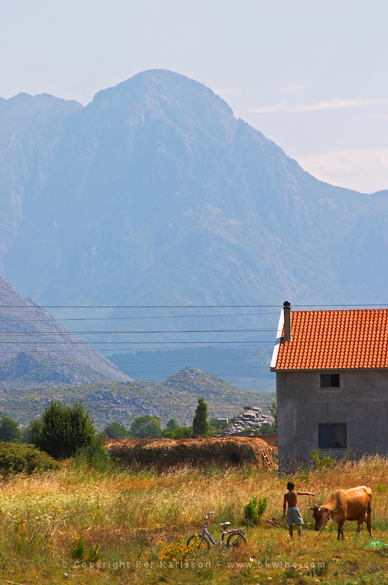 A view over the dry and desolate plain. The Ranxe mountains in the background. In front of a house a young boy with a single cow and a bicycle. On the road between Shkodra and the border to Montenegro. Albania, Balkan, Europe.
