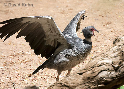0214-1201  Southern Screamer (Crested Screamer), Chauna torquata  © David Kuhn/Dwight Kuhn Photography