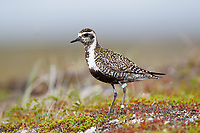 Female Pacific Golden-Plover (Pluvialis fulva) with leg flags. Chukotka, Russia. July.