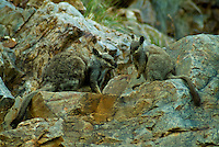 The Black-flanked Rock-wallaby (Petrogale lateralis), also known as the Black-footed Rock-wallaby or Warru, is a kind of wallaby, one of several rock-wallabies in the genus Petrogale.