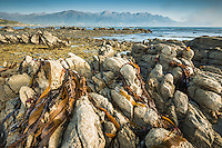 Rock formations of Kaikoura coastline with Kaikouras mountains in background and bull kelp seaweed, Kaikoura, Marlborough Region, South Island, East Coast, New Zealand