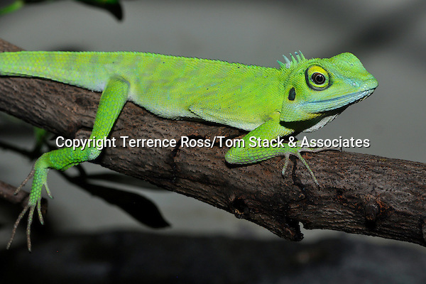 Green crested lizard, Bronchocela cristatela. Habitat: Malaysia and Borneo. Found in the forest canopy. Diet: small insects.