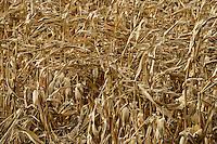 TURKEY Manisa, village Hacihaliller, corn field / TUERKEI, Dorf Hacihaliller, Maisfeld