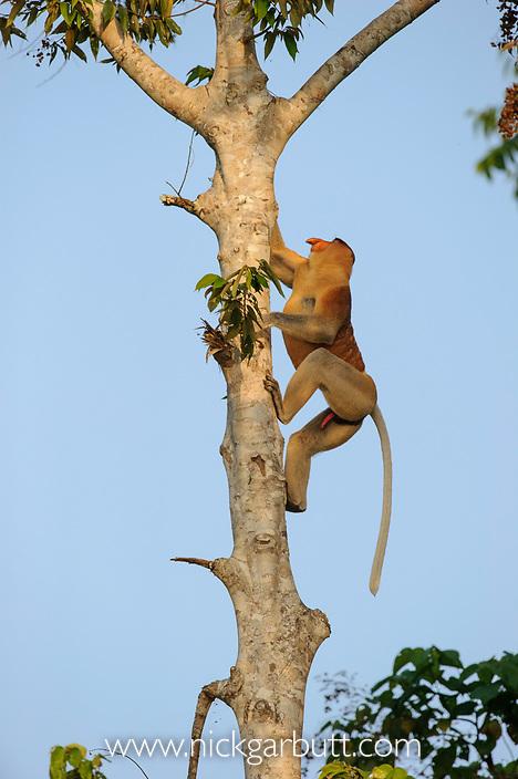 Adult male Proboscis Monkey (Nasalis larvatus) climbing riverside tree. Kinabatangan River, Sabah, Borneo.