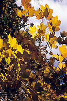 FALL FOLIAGE<br /> Armistice maple (Acer platanoides)<br /> Brooklyn Botanical Garden. In the autumn, trees stop photosynthesis. As the green chlorophyll disappears from the leaves, yellow, orange and red become visible.