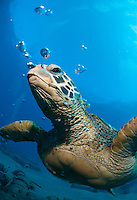 Green sea turtle swimming on the shores of Maui with fishing hook on his mouth.