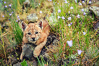 Lynx kitten resting among bluebells