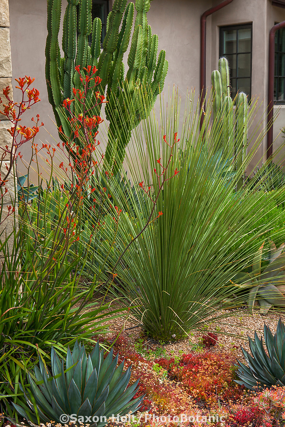 Dasylirion longissima (Mexican Grass Tree) in summer-dry garden Santa Barbara California with Anigozanthos, Euphorbia ingens (cactus like), and succulents