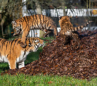 BNPS.co.uk (01202 558833)<br /> Pic: IanTurner/BNPS<br /> <br /> The wonderful thing about tiggers...cubs Rusty and Yuki play in the autumn leaves and with long suffering mother Yana.<br /> <br /> The endangered Amur tiger cubs - the world's largest big cats – have been seen by visitors for the first time at the Longleat Safari Park.<br /><br />And the precocious pair were soon frollicking in the autumn sunshine whilst playing in the fallen leaves, and pouncing on their long suffering mother Yana.<br /> <br /> The male called Rusty and a female called Yuki, are part of a European wide breeding programme for the endangered sub-species.<br /><br />Native to the far east of Russia, the Amur tiger is the largest of the big cats and can weigh up to 300 kg and measure more than three metres in length. <br /><br />In the 1930s the tigers had nearly died out due to hunting and logging. At one stage it is thought the population fell as low as just 20–30 animals. <br /> <br /> Although they are still under severe threat their status was officially changed from Critically Endangered to Endangered in 2007.