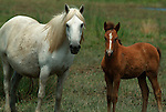 Camargue Pony, Horse, Equus caballus, adult and foal standing together, one of the olderest breeds in world, descendent of primative breeds, Horse of the Sea, Marshland of Rhone Delta, France.France....