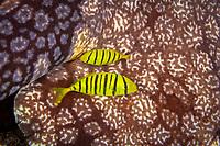 golden trevally, Gnathanodon speciosus, juvenile, sheltering in the shadow of tasselled wobbegong, Eucrossorhinus dasypogon, Raja Ampat, West Papua, Indonesia, Indo-Pacific Ocean