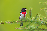 Male rose-breasted grosbeak perched on a spruce branch.