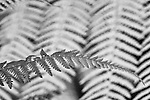 Unusual black and white infrared image of single fern leaf with other fern leaves in the background.