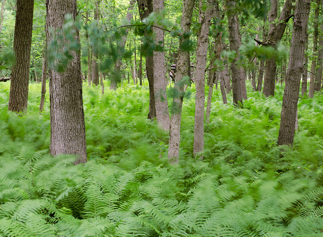 Ferns grow in profusion at Zanders Woods Forest Preserve in Cook County, Illinois.  This abstarct portrayal hightens that feeling.