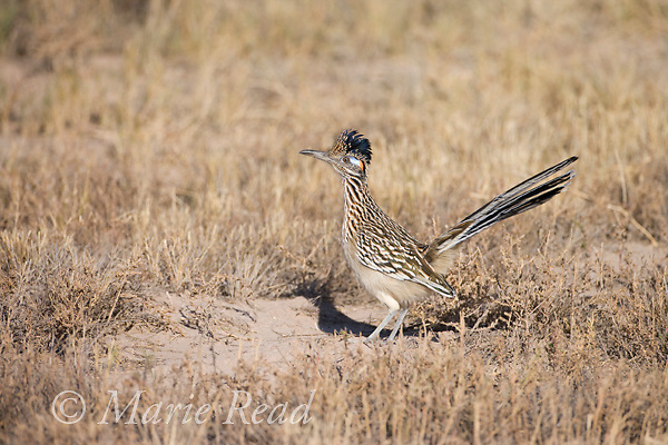 Greater Roadrunner (Geococcyx californianus), Bosque Del Apache National Wildlife Refuge, New Mexico, USA