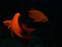 This image was taken at dusk in the Indian Ocean of the Maldives. Crown Squirrelfish (Sargocentron diadema) are large, active, nocturnal fish that tend to hide under rocks during daytime. I used a single strobe at 1/4 power to gently expose their striking red colour and took many shots until I felt the images represented them in a more interesting way. I shot hundreds of shots to capture not just their striking colour but also their powerful movement and intense gaze. This trio was mesmerizing and appeared to dance in a red dress..