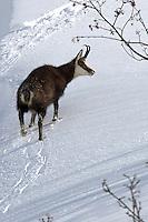 Chamois walking through the snow