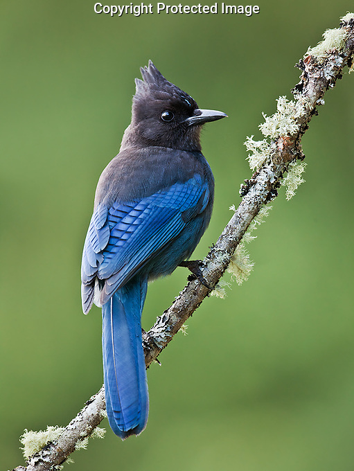 A Steller's jay perches on a lichen covered branch.<br />