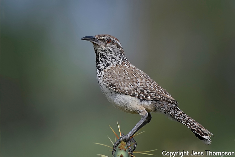 Cactus Wren, San Angelo State Park