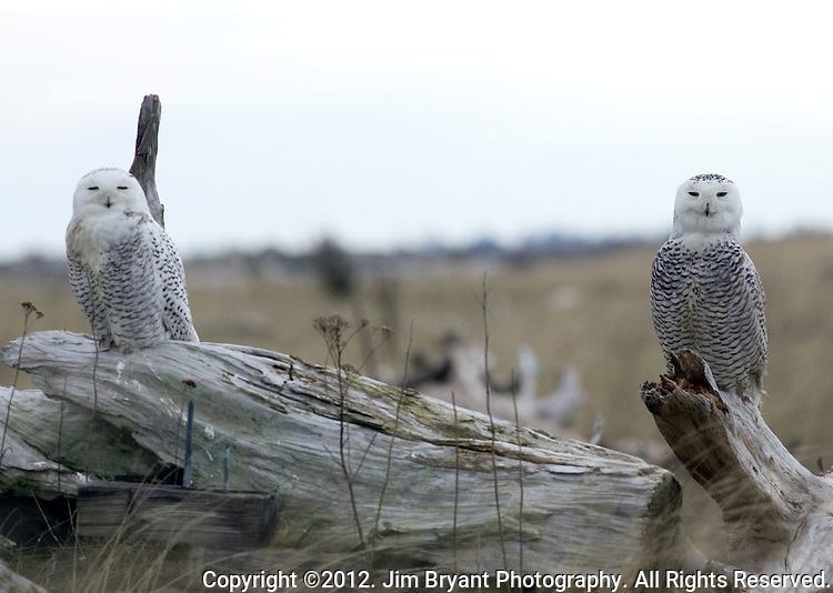 Two Snowy Owls roost together on a driftwood log  at Damon Point, Grays Harbor County, Washington on February 5, 2012. The rare visitors from the Arctic will be staying in the area, feasting on small mammals and fattening up before departing in March headed on their way back to the Arctic to breed.  ©2012. Jim Bryant Photo. All Rights Reserved.