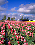 "Skagit County, WA               <br /> Rows of pink tulips with weathered barns under spring spring skies - ""Courtesy of Tulip Town"""