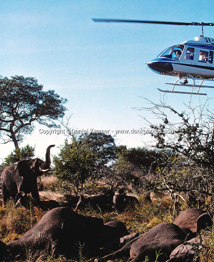On Friday, May 31, 1996, Kruger National Park Veterinary Cobus Raath led his team in the first elephant relocation in 20 years. The park can sustain only a certain amount of elephants and for the first time in 20-some years the park management decided to relocate the elephants rather than cull them.