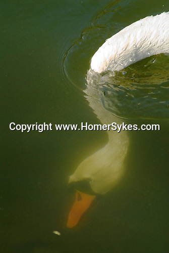 Swan diving for food, head under water the River Thames Richmond UK