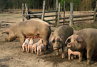 AJ3365, swine, pigs, piglets, Mother pigs caring for their young piglets on a pig farm in Branchville in the state of South Carolina.