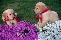 Two Golden Retriever puppies wearing bandanas, resting near flowers.