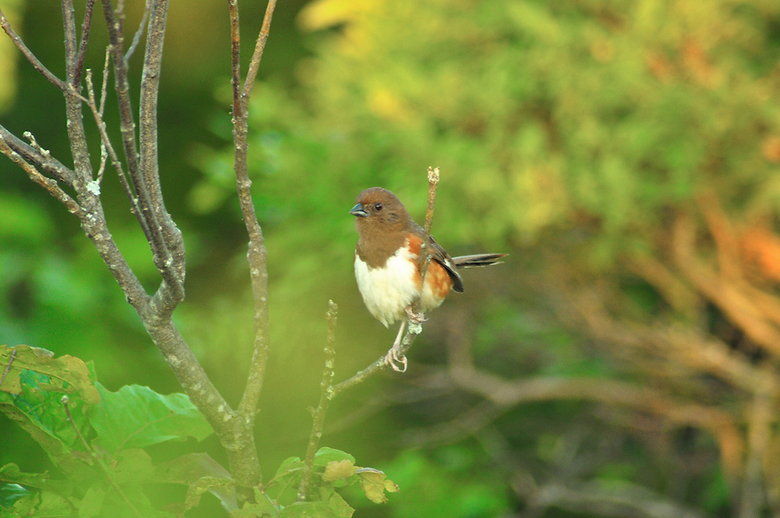 The lady half of a pair of breeding Eastern Towhees.