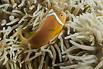 Marovo Lagoon, Solomon Islands; a white-bonnet anemonefish swimming in its host anemone, this endemic species can only be found in the Solomons Islands and N. Papua New Guinea