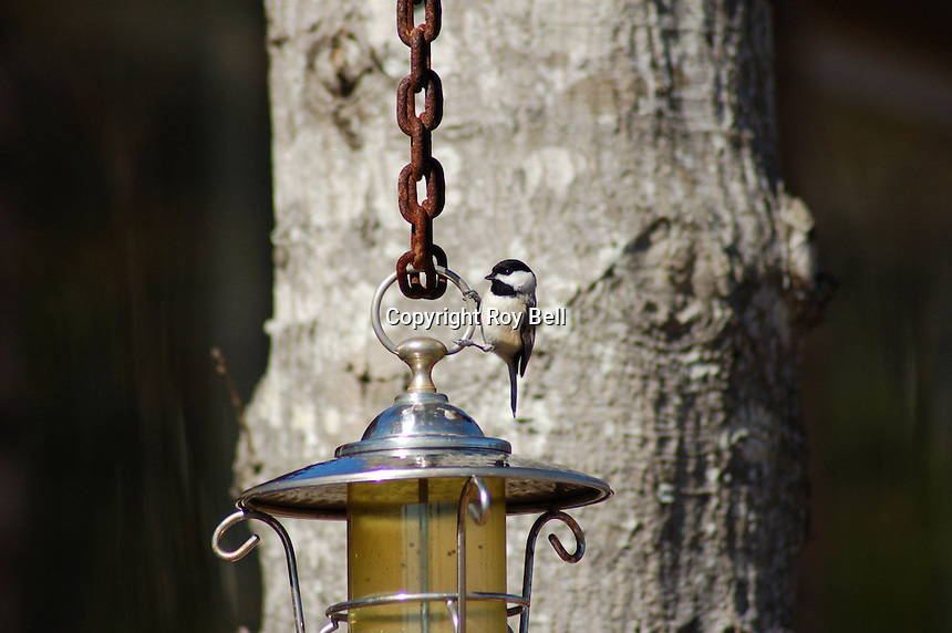 Acrobatics at the feeder.