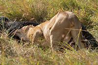 A female Lion, Panthera leo  melanochaita, eats a Cape Buffalo, Syncerus caffer, in the Trans Mara area west of Maasai Mara National Reserve, Kenya