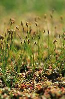 Nadel-Sumpfsimse, Nadel-Sumpfbinse, Nadelsimse, Nadelsumpfbinse, Nadelsumpfsimse, Eleocharis acicularis, needle spikerush, needle spike rush, dwarf hairgrass, Scirpe épingle
