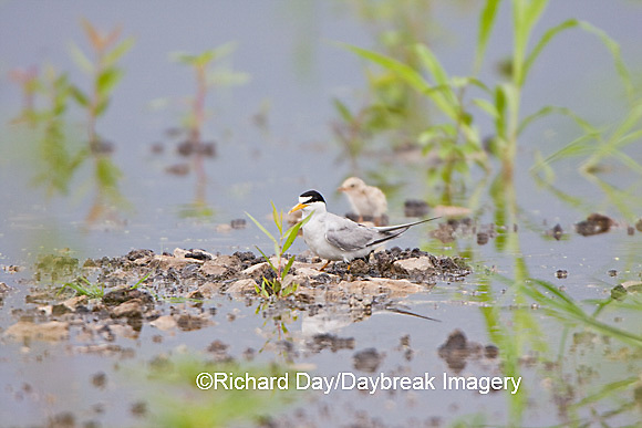 01013-00402 Least Tern (Sterna antillarum) with chick in flooded field, Alexander Co.  IL