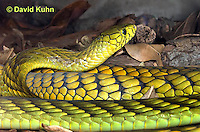 0423-1115  Western Green Mamba (West African Green Mamba), Dendroaspis viridis  © David Kuhn/Dwight Kuhn Photography