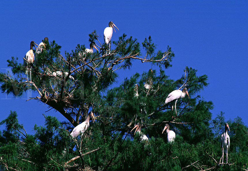 Endangered species of birds perched in a tree. Wood Stork Mycteria americana on the nest. Wood Stork. Florida, Corkscrew Swamp Sanctuary.