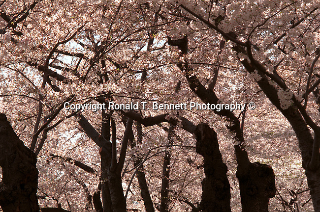 Tidal Basin Cherry Blossom Washington DC, Politics in the United States, Presidential, Federal Republic, united States Congress, Fine Art Photography by Ron Bennett, Fine Art, Fine Art photo, Art Photography,