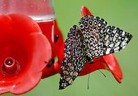 CALI-COLOMBIA-21-06-2003. Mariposa Hamadryas Feronia, también llamada mariposa Rechinadora gris. (Foto VizzorImage / Luis Ramírez / Staff).  Butterfly Hamadryas Feronia, or butterfly Rechinadora grey. (Photo: VizzorImage / Luis Ramírez / Staff)......