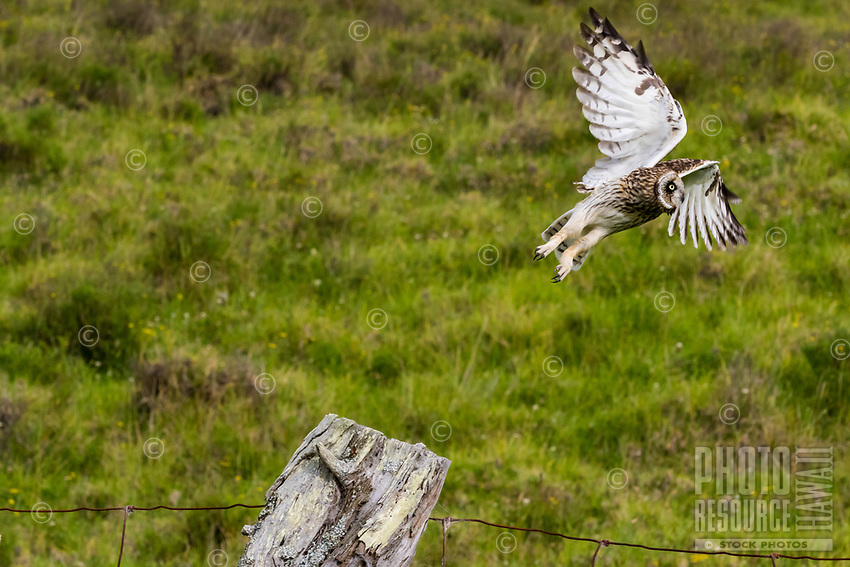 A pueo (Hawaiian short-eared owl) takes flight over a grassy field, island of Hawai'i.