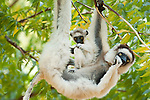 Verreaux's sifaka, Propithecus verreauxi, Berenty National Park, Madagascar, mother with young baby, feeding in tree, Classified as Vulnerable (VU) on the IUCN Red List, and listed on Appendix I of CITES