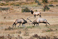Sparring Bull Elk in Rocky Mountain National Park