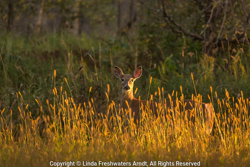 White-tailed deer standing in a field full of meadow foxtail.