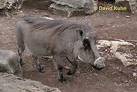 0906-0801  Desert Warthog, Phacochoerus aethiopicus  © David Kuhn/Dwight Kuhn Photography.