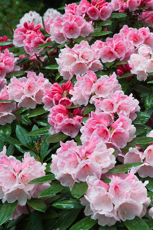Rhododendron 'Vintage Rose', mid May. An evergreen hybrid (R. yakushimanum x X 'Jalisco Eclipse') with large trumpet-shaped rose-pink flowers, which fade to near white.