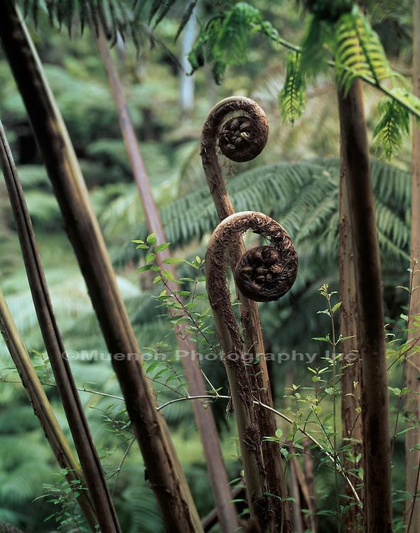 """""""Tree fern, Hawaii Hawaii Volcanoes National Park HAWAII"""""""
