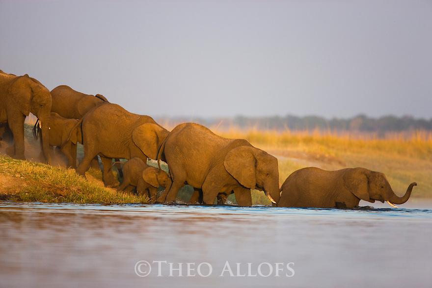 Elephant breeding herd walking into Chobe River, Chobe National Park, Botswana